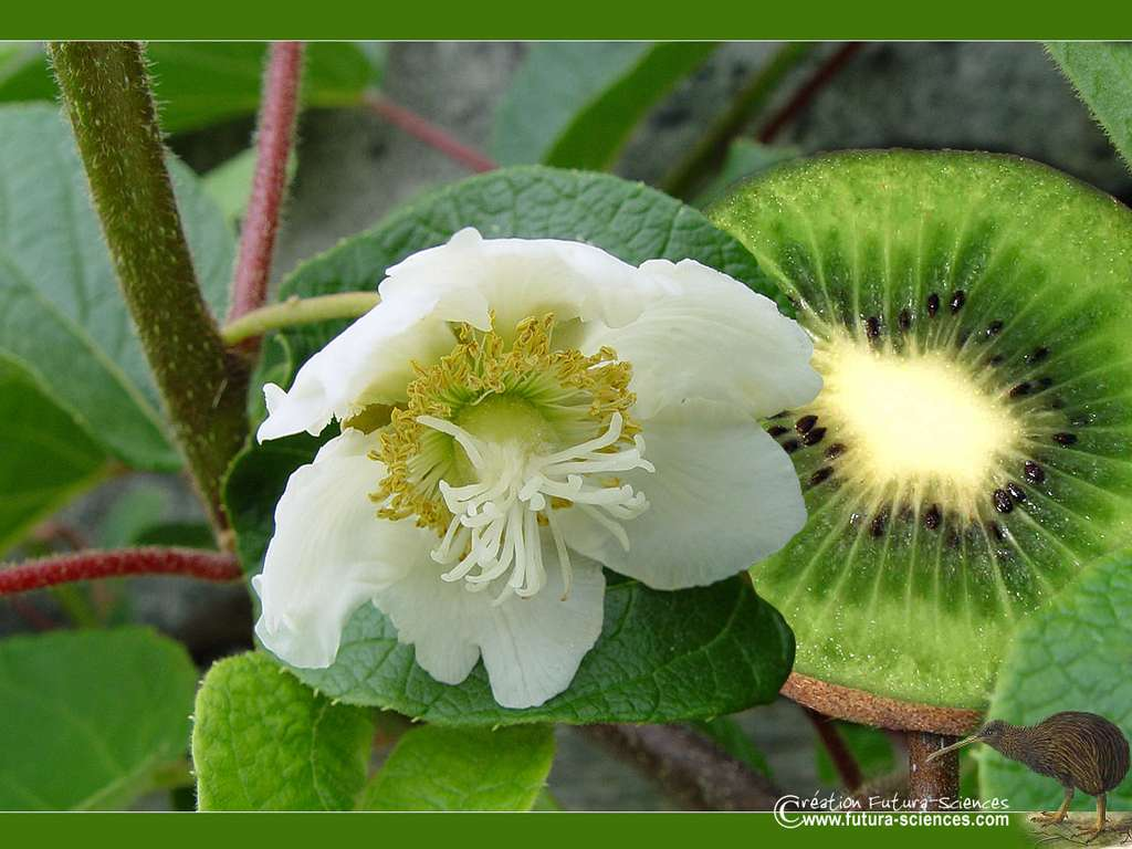 Kiwi en fleurs