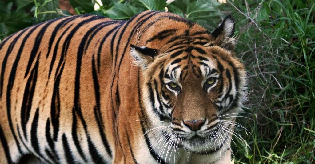 Tigre du Bengale. © Alfonzopasphoto - CC BY-SA 3.0