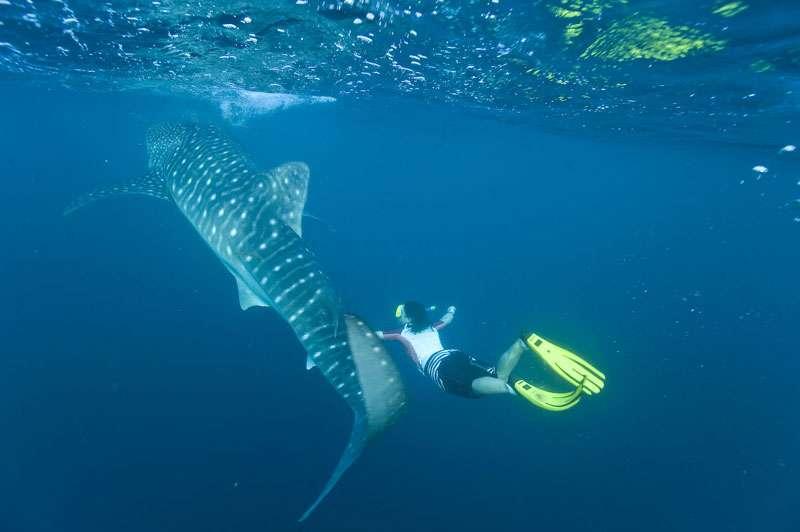 Requin-baleine dans l'océan Indien. © Alexis Rosenfeld, reproduction interdite