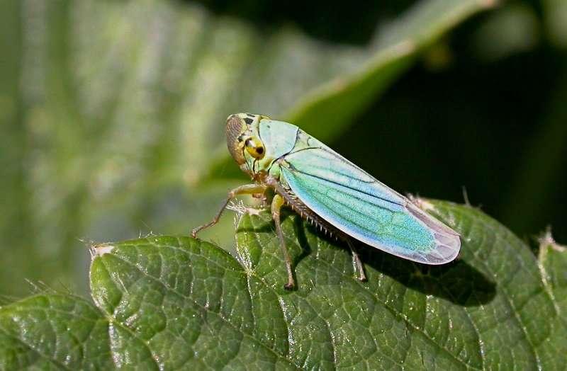 Les phytoplasmes profitent des cicadelles, des insectes suceurs de sève, pour se répandre de plante en plante. En contrôlant leur hôte végétal, ces bactéries manipulent également indirectement le comportement des insectes. © Jean-Jacques Milan, Wikipédia, cc by sa 3.0