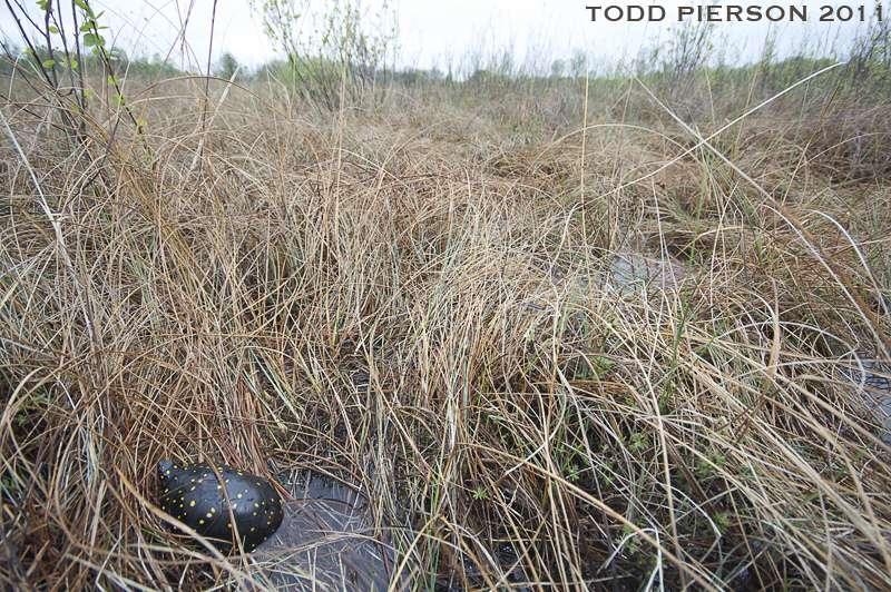 Habitat type de la tortue ponctuée. © Flickr, Todd W. Pierson, cc by nc sa 2.0