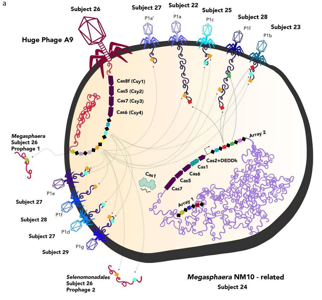 Un phage géant (A9) ainsi que d'autres phages introduisent leur matériel génétique dans la bactérie afin que celle-ci le duplique. Le phage géant injecte des séquences de protéines Cas qui vont être utilisées par la bactérie pour éliminer les virus concurrents. © Jill Banfield, UC Berkeley