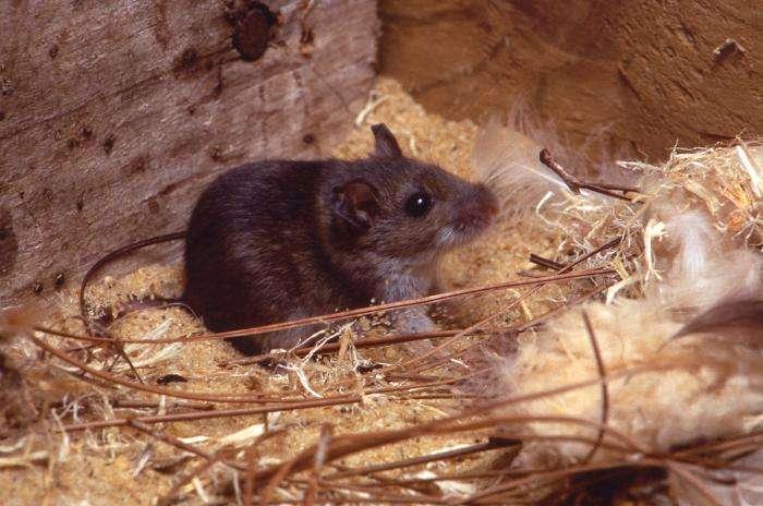 Les souris de l'espèce Peromyscus maniculatus sont les rongeurs responsables de cette épidémie, probablement avec des campagnols du genre Microtus. © CDC, DP