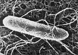 Escherichia coli, une bactérie commune dans l'intestin, mais dont il existe des formes pathogènes, et qui vit au sein d'une vaste flore. On connaît finalement très mal ce véritable écosystème interne... © Inra / R. Ducluzeau