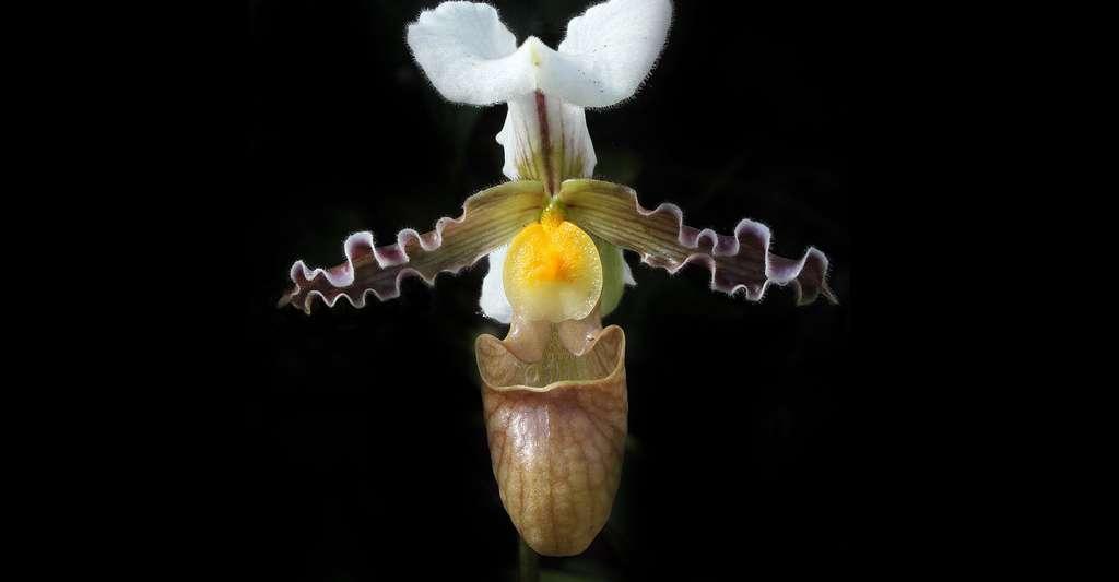 Orchidée Paphiopedilum ou sabot de Vénus. © H. Krisp, CC by 3.0