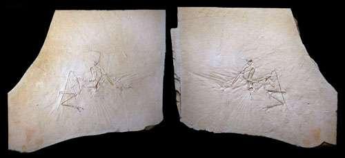 Une plaque de calcaire lithographique montrant un fossile d'archéoptéryx. Crédit : Mick Ellison & AMNH