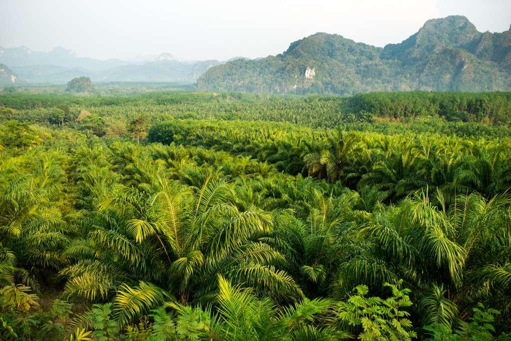 La conversion des forêts tropicales en palmeraies dédiées à la production industrielle d'huile de palme est un désastre écologique. © Iarygin Andrii, Adobe Stock