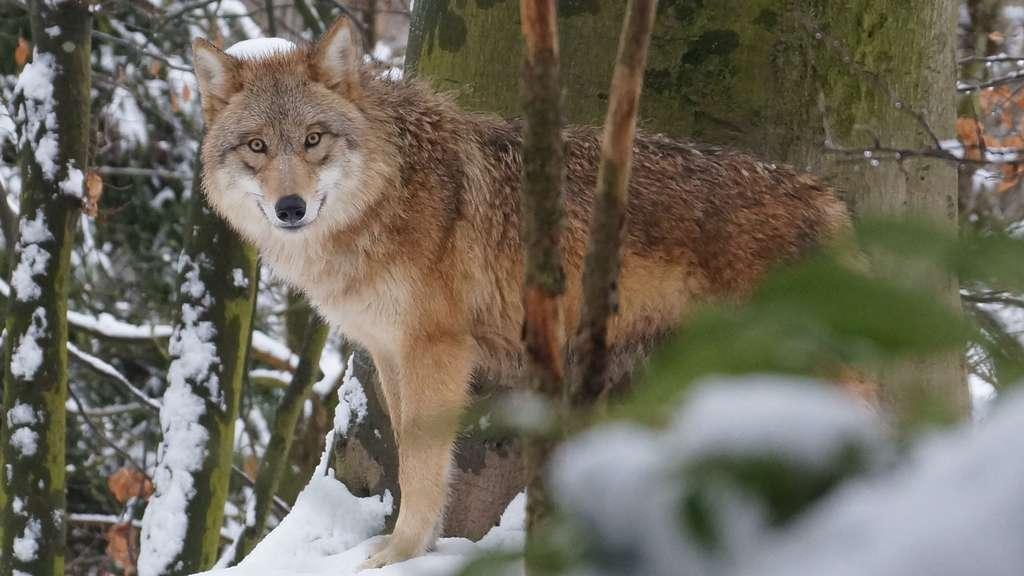 Le loup mongol, un animal totem