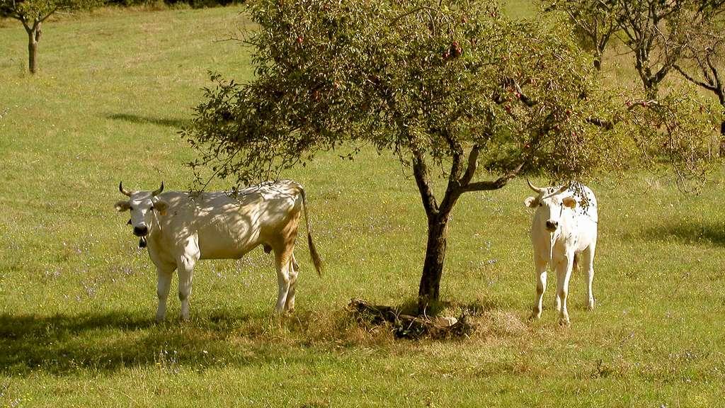 Chianina, la plus grande race bovine domestique