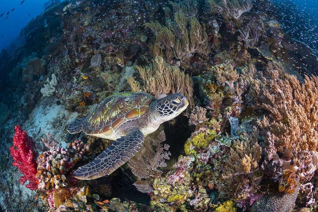 Une tortue verte (Chelonia mydas) au milieu d'un jardin de corail de Sauwandarek. © Gabriel Barathieu, tous droits réservés