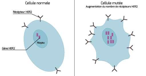 Une cellule normale comparée à une cellule cancéreuse où le nombre de récepteurs HER2 augmente. © Institut national du Cancer
