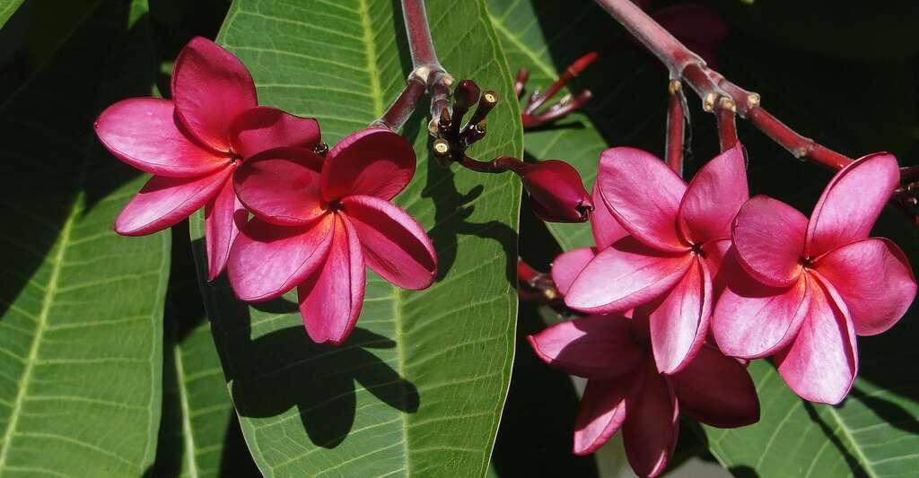 La première étape de fabrication d'un parfum consiste à cueillir les fleurs. Ici, des fleurs de frangipanier. © AnnaMorais, CCO