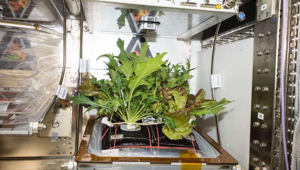 À bord de la Station spatiale internationale (ISS), la récolte reste occasionnelle. Mais elle permet de diversifier les textures des aliments proposés aux astronautes. © Nasa/ISS