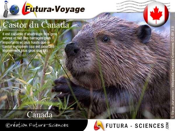 Castor du Canada
