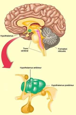 Position de l'hypothalamus dans le cerveau. Source : http://lecerveau.mcgill.ca/