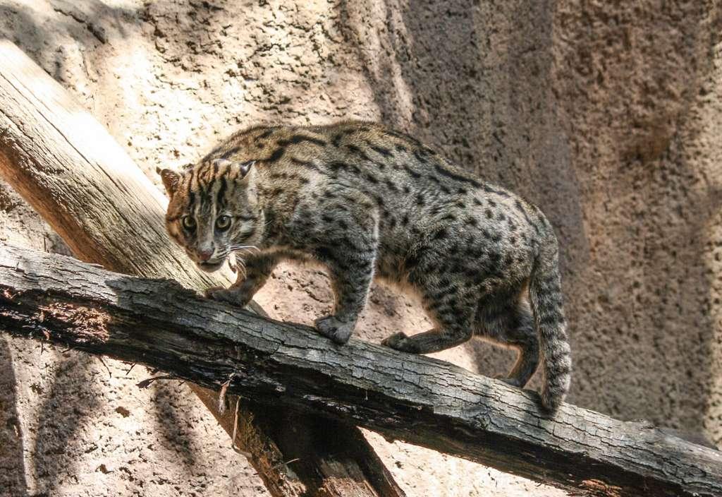Chat viverrin. © Bernard Gagnon, Wikipedia