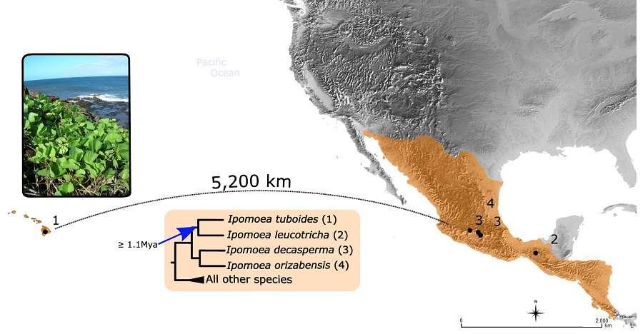 L'espèce I. tuboides (numérotée 1), endémique des îles Hawaï (en orange à gauche de la carte), a divergé depuis au moins 1,1 million d'années de ses plus proches parents (numérotés 1, 2, 3 et 4), tous confinés au Mexique et en Amérique centrale (en orange sur la carte). Sa présence à Hawaï, à 5.200 km de la côte américaine, s'explique très probablement par une dispersion naturelle, par le vent, la mer ou les oiseaux. © Pablo Muñoz-Rodriguez et al., 2018, Current Biology