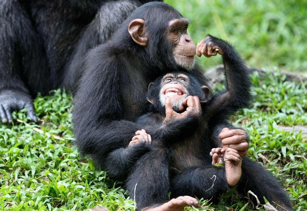 Cette étude a été menée chez différents groupes de mammifères, dont les primates, les carnivores (lions, chiens, etc.), les artiodactyles (cerfs, girafes, etc.) et les ongulés (chevaux, rhinocéros etc.). Alors qu'on savait que certains insectes ou reptiles pouvaient réellement choisir du sexe de leur progéniture, concernant les mammifères, chez qui la répartition des chromosomes sexuels est aléatoire, cela semblait moins évident. Pourtant, l'opportunité pourrait aussi se présenter. © Shiny Things, Fotopédia, cc by 2.0