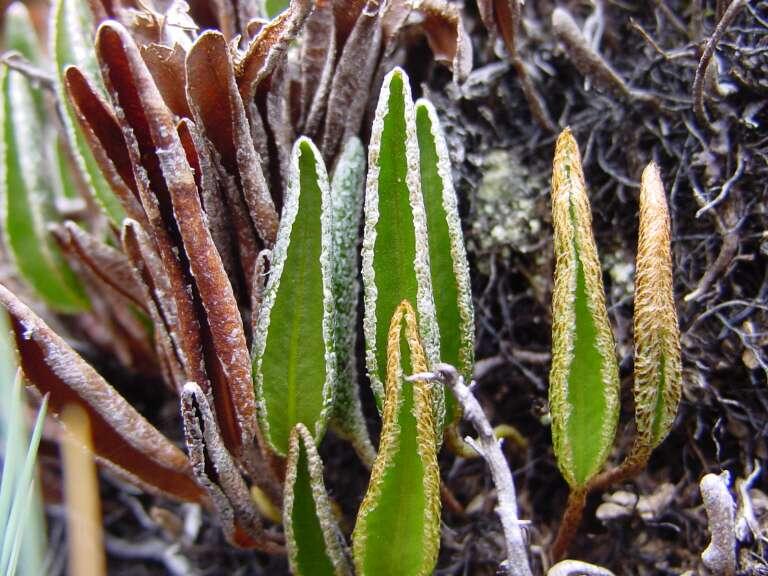 """La fougère """"Elaphoglossum randii"""""""