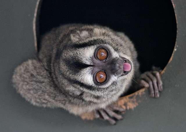 Le douroucouli est un petit singe qui vit en Amérique du Sud. Trois individus ont été utilisés comme cobayes et ont survécu à une infection de paludisme normalement mortelle grâce à un traitement à base de BCX4945. © Swh, Flickr, cc by nc 2.0