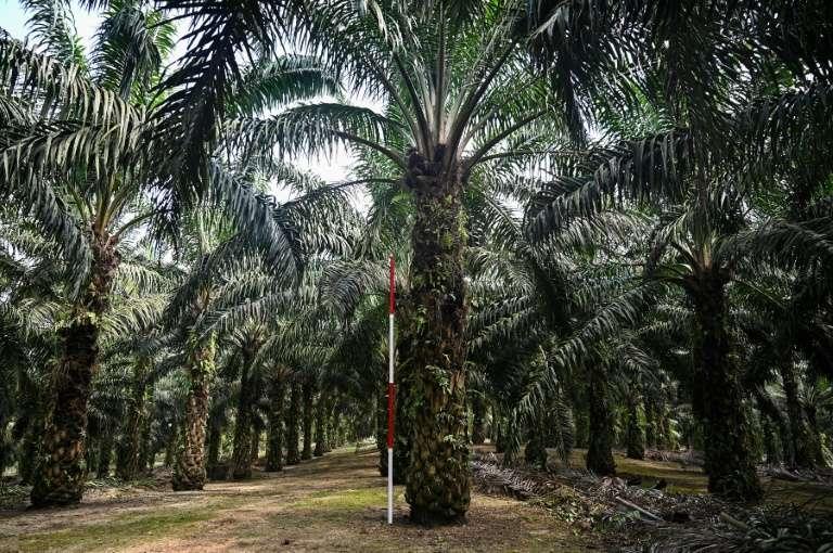Des palmiers à huile nains plantés à Bukit Lawiang dans le cadre d'un programme de recherches, le 13 février 2019 en Malaisie. © Mohd Rasfan - AFP
