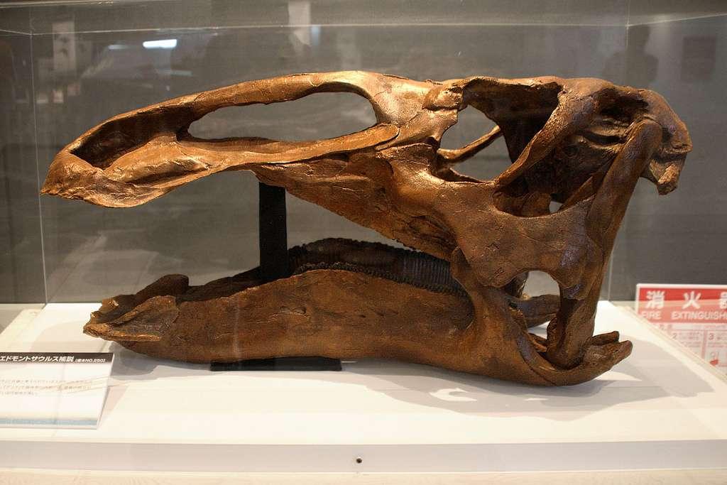 Edmontosaurus, ce dinosaure à bec de canard