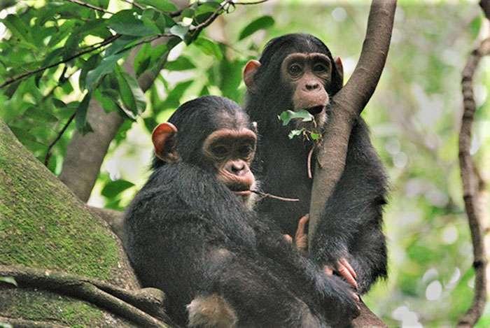 Chimpanzés au Domaine de chasse de Bili-Uele. © AWF, tous droits réservés