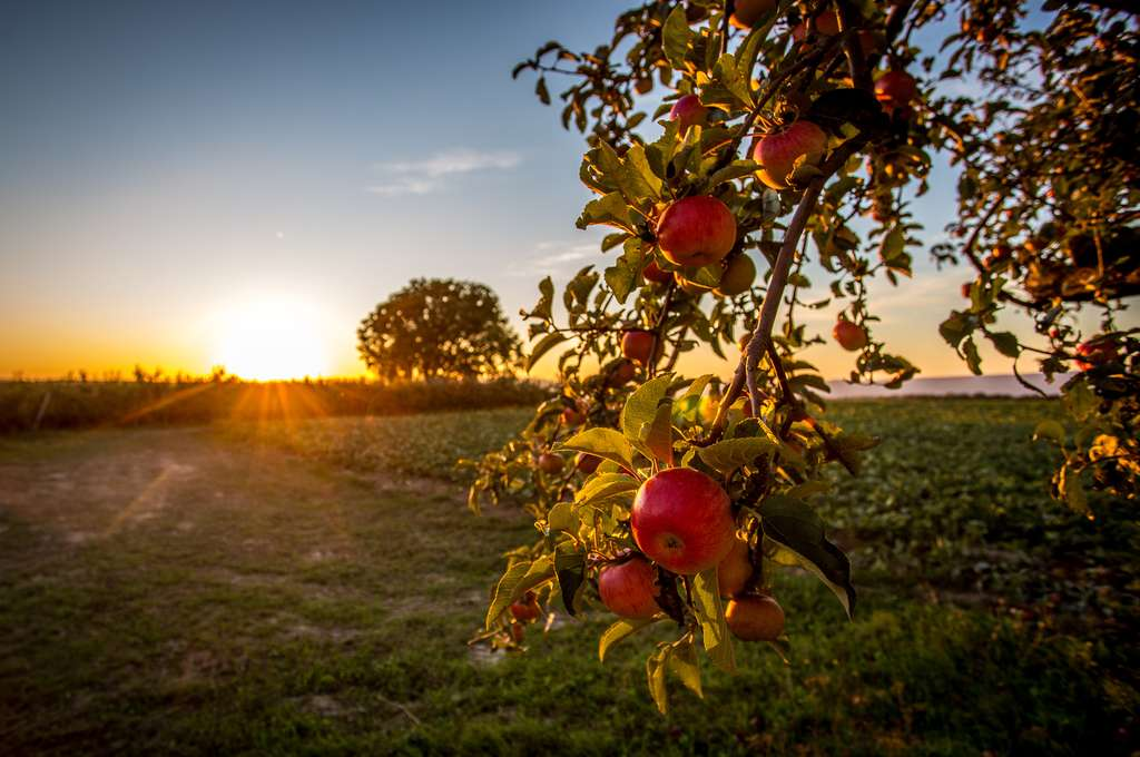 L'utilisation de Wolbachia apparaît de manière particulièrement saisissante lorsqu'on se promène à l'automne dans une pommeraie européenne. © parallel_dream, Fotolia