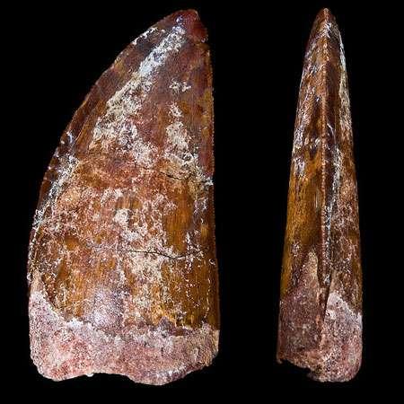 Carcharodontosaurus saharicus. Deux vues d'une même dent de 6 centimètres de haut. © Didier Descouens, Creative Commons Paternité – Partage des conditions initiales à l'identique 3.0 Unported, 2.5 Générique, 2.0 Générique et 1.0 Générique