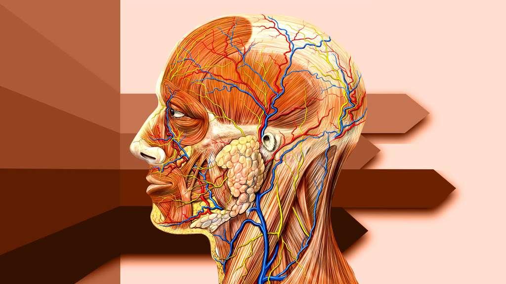 Anatomie de la tête vue de côté