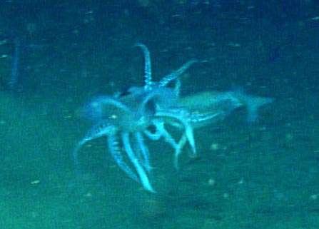 Deux calmars (Illex illecebrosus), engagés dans une lutte cannibale. © NOAA, Office of Ocean Exploration and Research