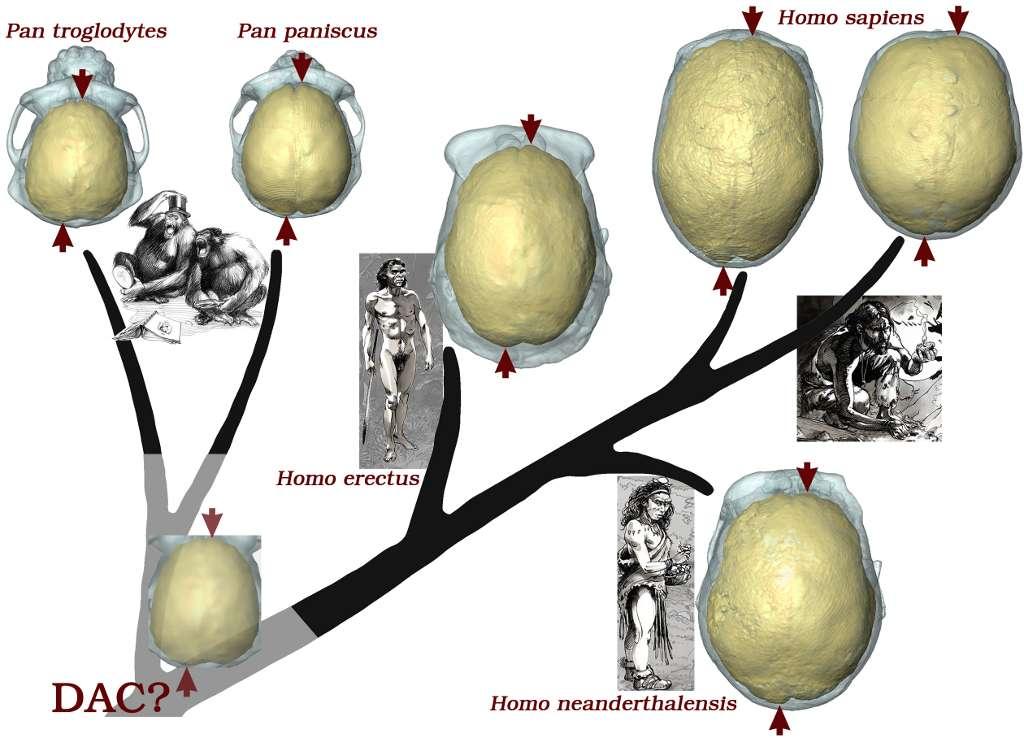 Arbre évolutif simplifié des hominidés et asymétries neuroanatomiques partagées. © A. Balzeau (CNRS/MNHN) et dessins de O.M. Nadel