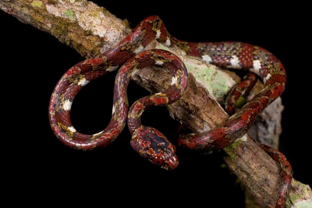 Un serpent suceur d'escargot
