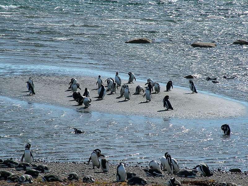 Petite colonie de manchots en Patagonie. © Guglielmo Celata, CC by-SA 2.0