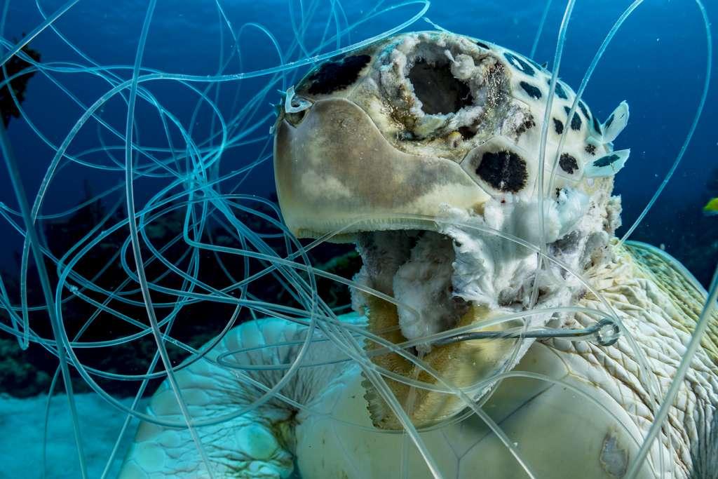 La victime (Bahamas). © Shane Gross, Ocean Art