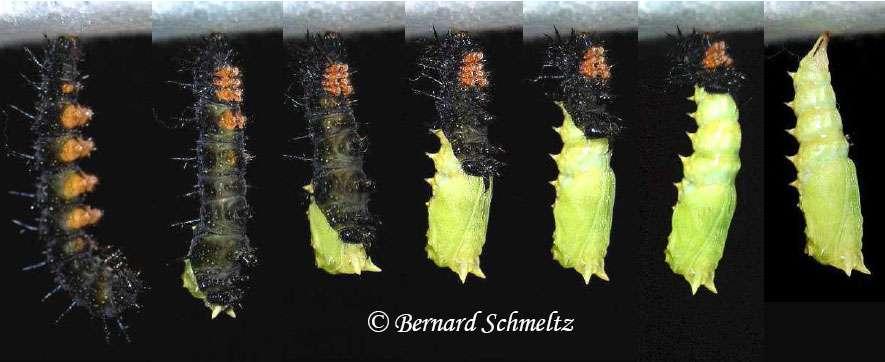 Une chenille de Paon-du-jour, Aglais io (L., 1758)(=Inachis io) (Nymphalidé) se transforme en chrysalide. © Bernard Schmeltz