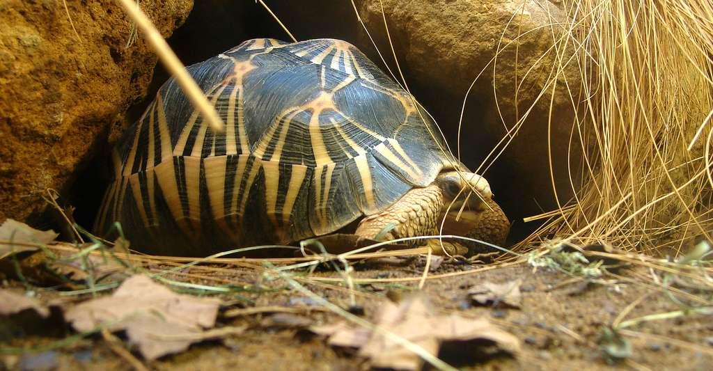 Tortue étoilée de Madagascar. © Nevit Dilmen, Wikimedia commons, DP