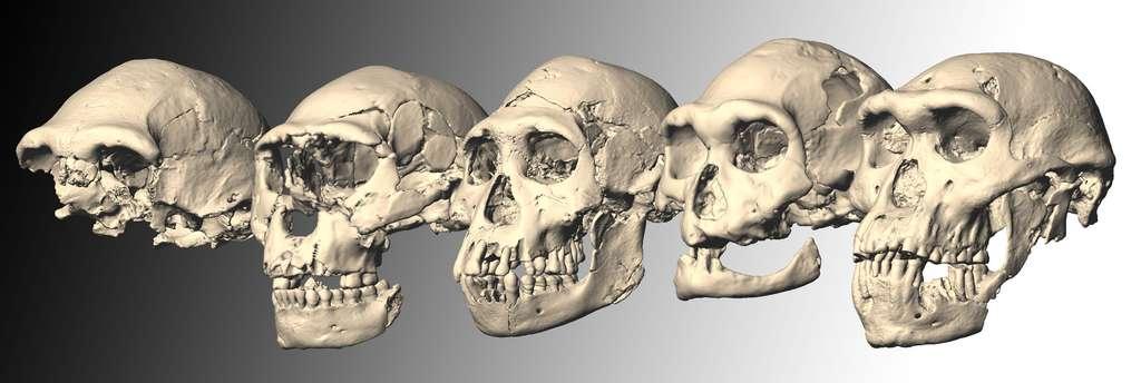 Ces crânes fossiles (ici des reconstitutions numériques) ont tous les cinq été découverts sur le site archéologique de Dmanisi, en Géorgie. Ils sont vieux de 1,8 million d'années et appartiendraient tous à des Homo erectus. Le dernier d'entre eux (à droite) a été mis au jour en 2005. Il s'agit de Skull 5, le plus complet d'entre tous. © M. Ponce de León et Ch. Zollikofer, Université de Zurich, Suisse