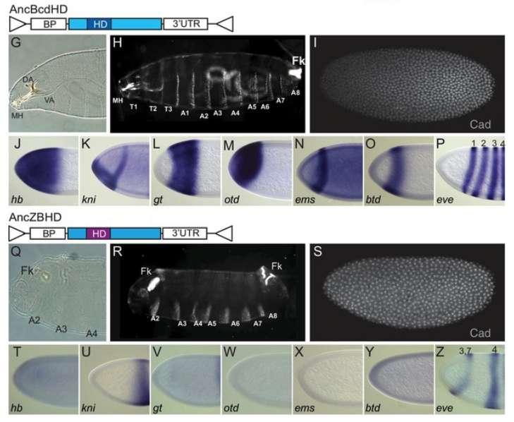 Deux versions du gène reconstruit à partir de sa forme ancestrale il y a 140 millions d'années donnent un développement différent de l'embryon de drosophile. © Q.Liu et all., eLife 2018