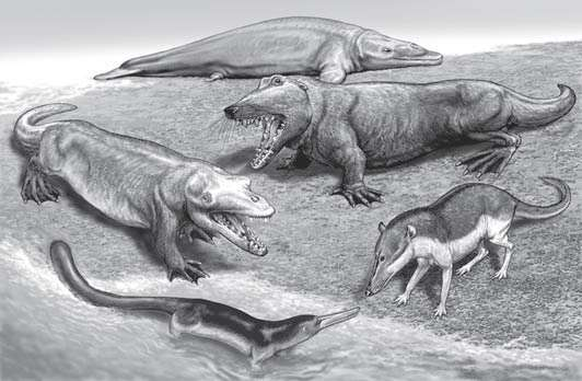 Illustration de cinq cétacés ayant vécu durant l'Éocène. Dans le sens des aiguilles d'une montre, en partant du haut : Dorudon (~39 millions d'années et l'un des derniers archéocètes), Ambulocetus (~49 millions d'années), Pakicetus (~50 millions d'années), Kutchicetus (~45 millions d'années) et Rodhocetus (~45 millions d'années). © Thewissen and Williams, 2002