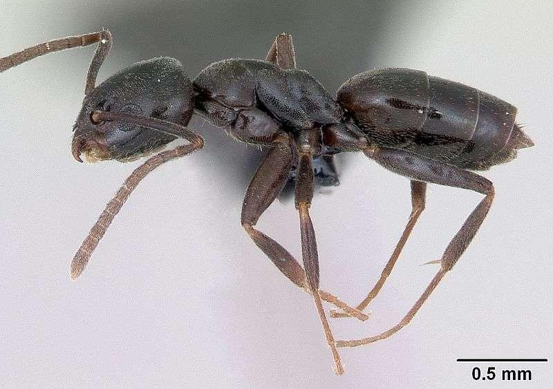 Tapinoma erraticum. © April Nobile Creative Commons Attribution-Share Alike 3.0 Unported license.
