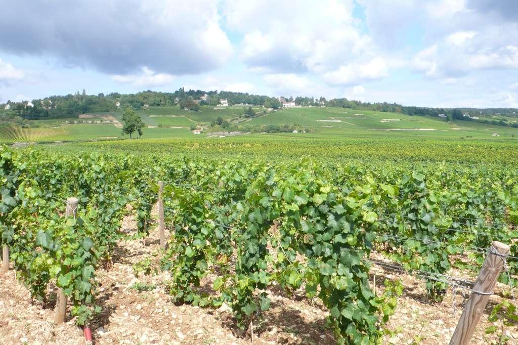 C'est à proximité de vignobles qu'a été trouvée la plus grande variété de pesticides. © J.-L. Goudet, tous droits réservés