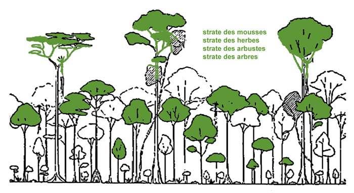Les différentes strates de la forêt. © Pile et Face