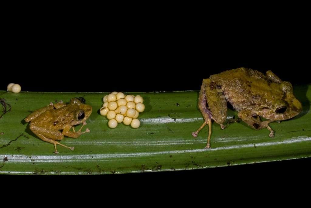 Des grenouilles arboricoles qui pondent dans les arbres