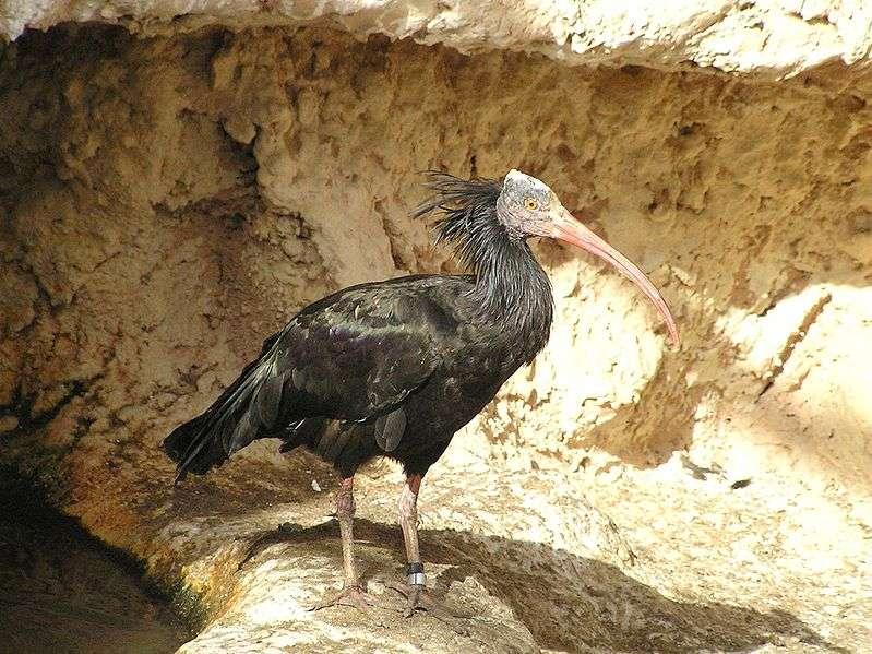 Ibis chauve portrait. © Eman, domaine public