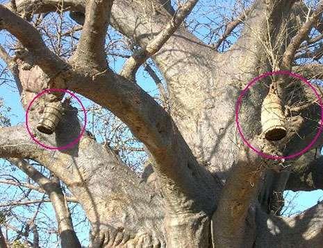 Ruches installées dans des baobabs au Mali. © S. Garnaud Reproduction et utilisation interdites
