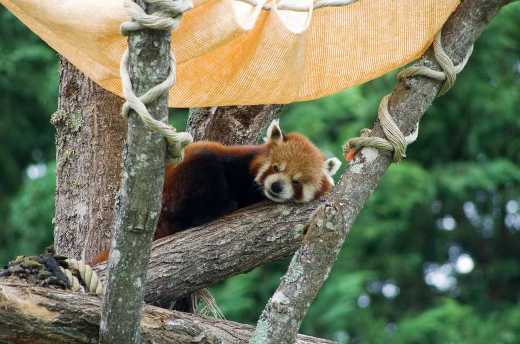 Un panda roux au zoo de Beauval. © JoyTek, Wikimedia Commons, CC by-sa 2.0