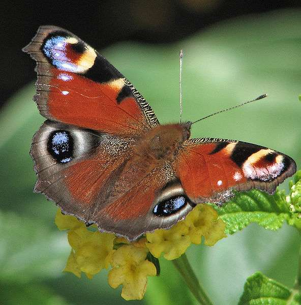 Certains papillons seraient capables de détecter un partenaire sexuel dans un rayon de 10 km grâce à leurs phéromones. Pourtant, si elles jouent un rôle indispensable dans la reproduction de ces espèces, elles ne sont pas les seules à intervenir. © Darkone, Wikipédia, cc by 2.5