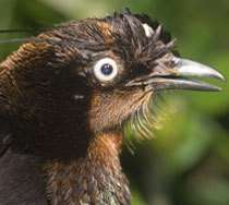 Oiseau de paradis (Parotia berlepshi) Crédits : CI, Bruce Beehler