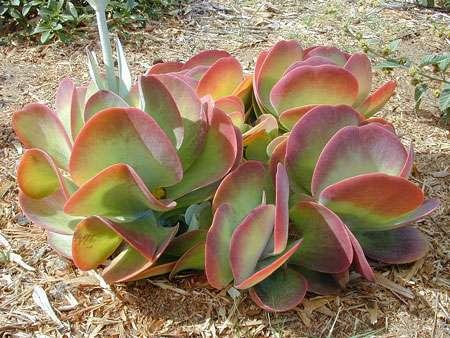 Kalanchoe thyrsiflora. © Forest & Kim Starr, Creative Commons, attribution 3.0 Unported
